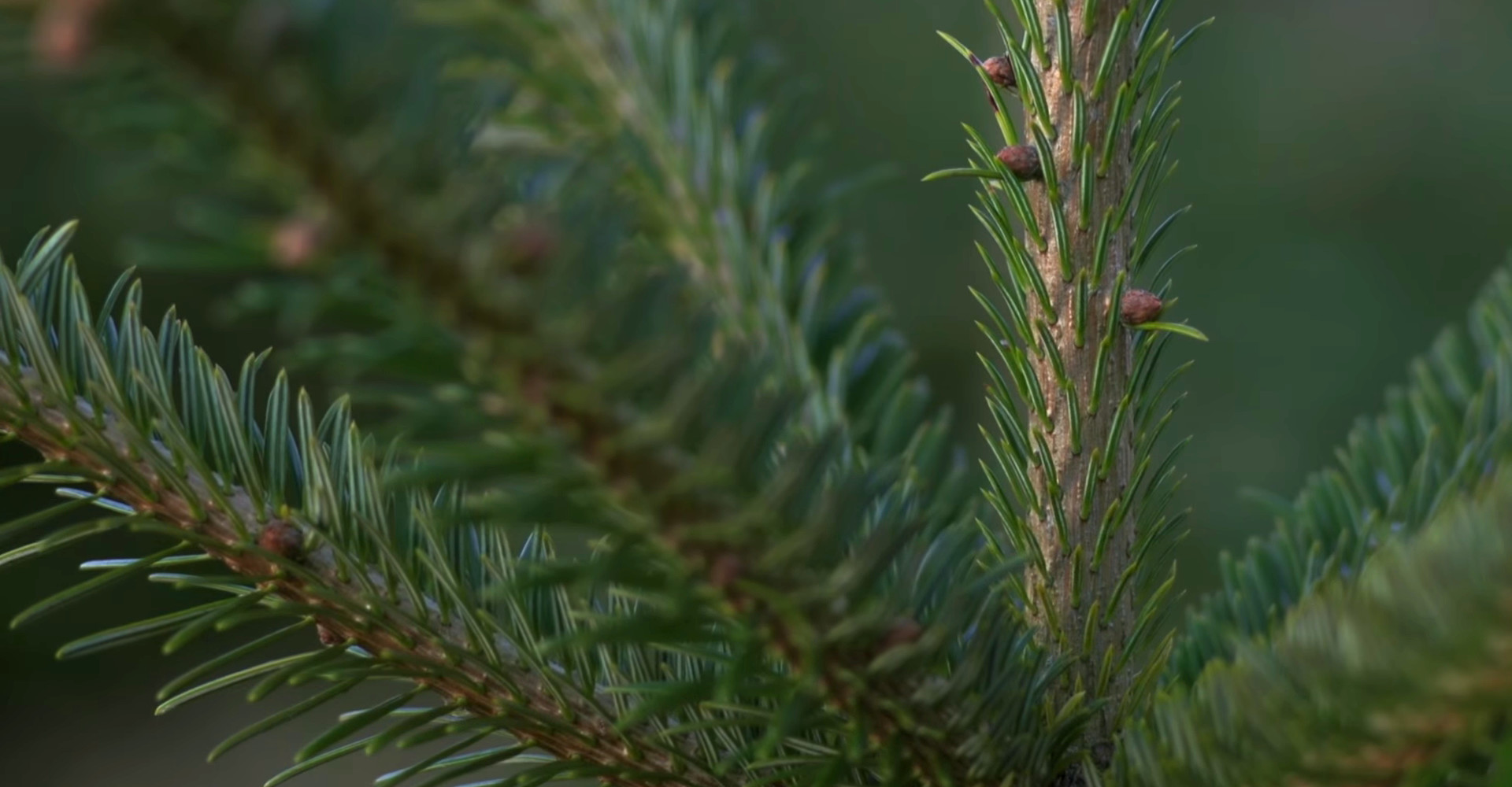 De mooiste Nordmann Excellent kerstbomen in Leiden vanaf € 15,-