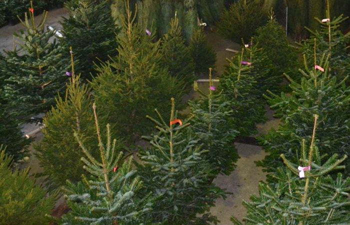 Nordmann Excellent kerstbomen