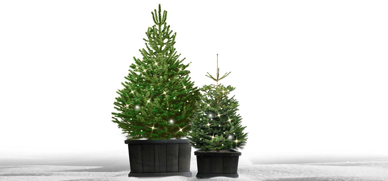 Nordmann kerstboom in kist met verlichting voor buiten bestellen in Leiden